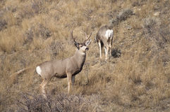 Mule Deer Buck Leading His Female Family Winter Grassland Wildli Stock Photos