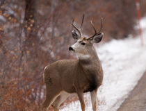 Mule deer buck looking to left Royalty Free Stock Photos