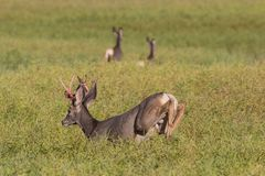 Mule Deer buck losing his velvet royalty free stock image