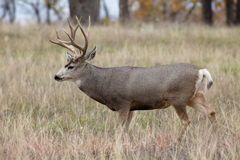 Mule Deer Buck in Meadow Stock Images