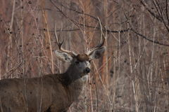 Mule deer buck. A mule deer buck in New Mexico Royalty Free Stock Photo