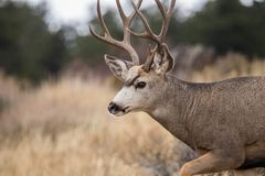 A mule deer buck with a beautiful set of antlers walking on a hill side. Mule deer buck with a nice set of antlers walking on a hill side of grass and trees royalty free stock image