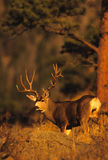 Mule Deer Buck in Pines Stock Photos