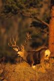 Mule Deer Buck in Pines stock photos