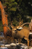 Mule Deer Buck in Pines Royalty Free Stock Photography