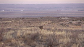 Mule Deer Buck on the Plains stock video