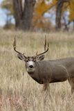 Mule Deer Buck Portrait Royalty Free Stock Photos