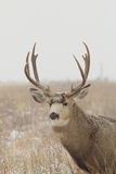 Mule Deer Buck Portrait Stock Photo