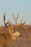 Mule Deer Buck Portrait Royalty Free Stock Image