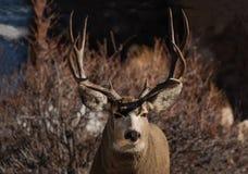 Mule deer buck portrait with large antlers. Mule deer buck closeup portrait with large antlers stock photo