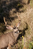 Mule Deer Buck Portrait Royalty Free Stock Images
