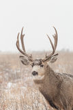 Mule Deer Buck Portrait in Snow Royalty Free Stock Photos