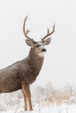 Mule Deer Buck Portrait in Snow Stock Photography