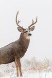 Mule Deer Buck Portrait in Snow Stock Photography