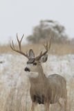 Mule Deer Buck Portrait in Snow Stock Photo