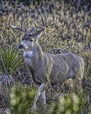 Mule Deer Buck Pose in Desert Stock Image
