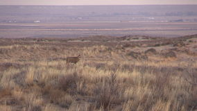 Mule Deer Buck stock video footage