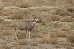 Mule Deer Buck on the Prairie Stock Images