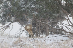 Mule Deer Buck Running in Snowstorm Stock Photos