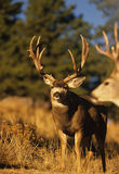 Mule Deer Buck in Rut Royalty Free Stock Photography