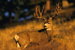 Mule Deer Buck in Rut Stock Images