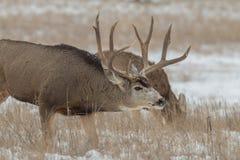 Mule Deer Buck in Rut Royalty Free Stock Photography