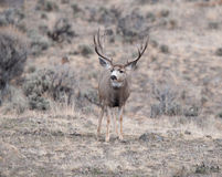 Mule deer buck during rut Stock Photo