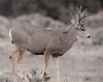 Mule deer buck during rut Royalty Free Stock Photos