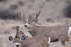 Mule deer buck during rut Stock Photos
