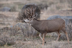 Mule deer buck Royalty Free Stock Image