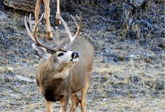 Mule deer buck in rut. This is a mule deer buck in rut he is sniffing the air there is a doe behind him royalty free stock images