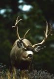 Mule Deer Buck Sneaking Stock Photography