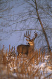 Mule Deer Buck in Snow Royalty Free Stock Photography