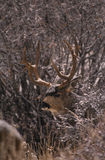 Mule Deer Buck in Snow. A big non typical mule deer buck peering out of heavy brush in a snowstorm Stock Photos