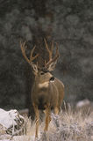 Mule Deer Buck in Snow Royalty Free Stock Photo
