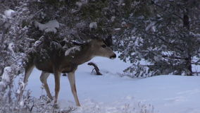 Mule Deer Buck stock footage