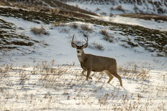 Mule Deer Buck in the Snow in Badlands National Park Royalty Free Stock Photography