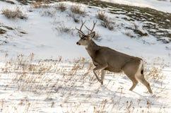 Mule Deer Buck in the Snow in Badlands National Park Royalty Free Stock Photo