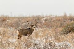 Mule Deer Buck in Snow Royalty Free Stock Images