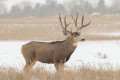 Mule Deer Buck in Snow Stock Image