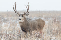 Mule Deer Buck  in Snow Covered Field Stock Photography