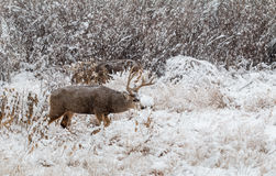Mule Deer Buck in Snow Stock Image
