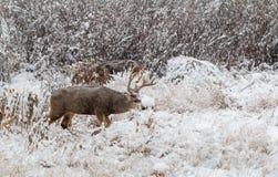 Mule Deer Buck in Snow. A mule deer buck in a snow covered filed Stock Image