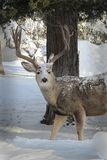 Mule Deer Buck Snow on His Fur, in Front of a Tree royalty free stock images