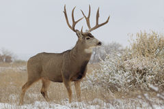 Mule Deer Buck in Snow Royalty Free Stock Photography