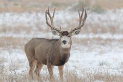 Mule Deer Buck in Snow. A huge mule deer buck in a snow covered filed Stock Image