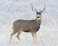 Wild Deer on the High Plains of Colorado - Mule Deer Buck In Fie. Mule Deer Buck in Snow - Wild Deer In the Colorado Great Outdoors royalty free stock images