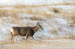 Mule Deer Buck in the Snow Royalty Free Stock Photo