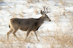 Mule Deer Buck in the Snow Royalty Free Stock Image