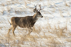 Mule Deer Buck in the Snow Stock Photography